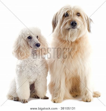 Poodle And Pyrenean Sheepdog