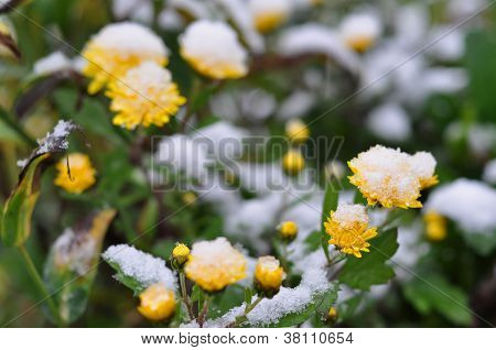 Yellow Flowers Are Covered With First Snow