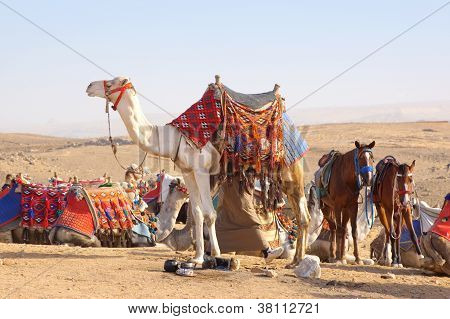 Camel and horses