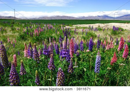 Lavenders Field