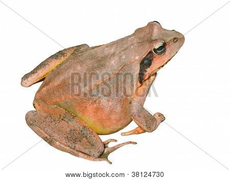 Frog (rana Dybowskii)