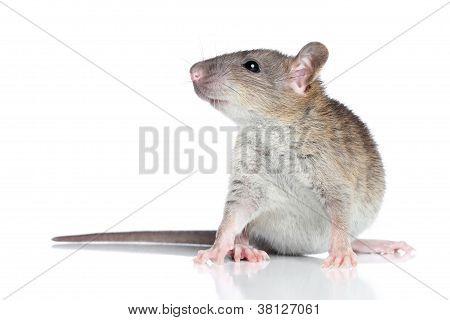 Rato sobre um fundo branco