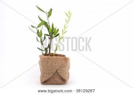 Olive Plant With Brances