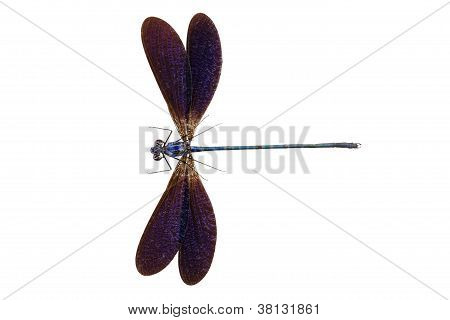 Blue dragonfly species Vestalis luctuosa