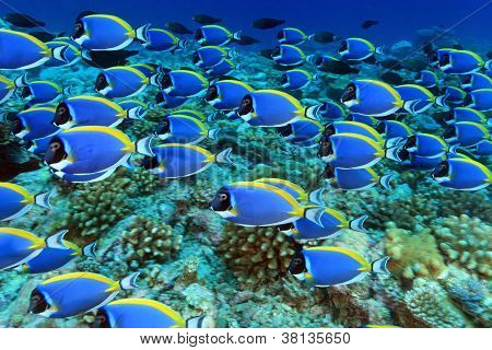 Powder blue tangs