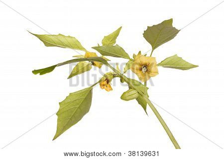 Flowers And Leaves Of A Tomatillo Plant