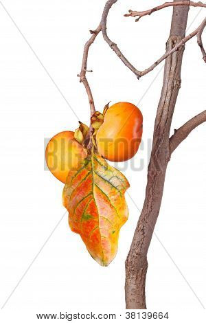 Ripe Persimmons And Leaf Isolated Against White