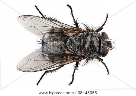 Blue Bottle Fly Species Calliphora Vomitoria