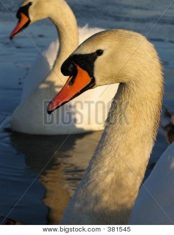 Swans Study