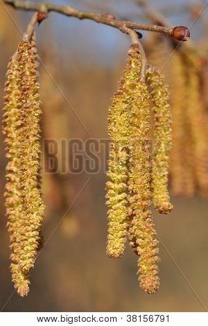 Amentos de avellano árbol