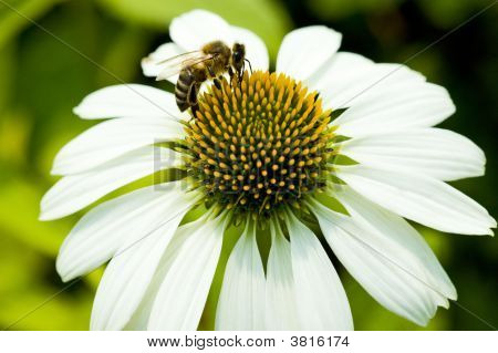 Close Up Macro Camomile Bee