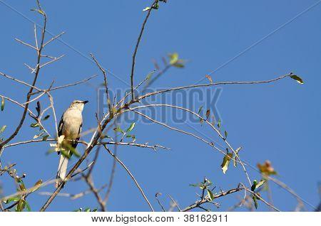 Mockingbird Perched On A Tree