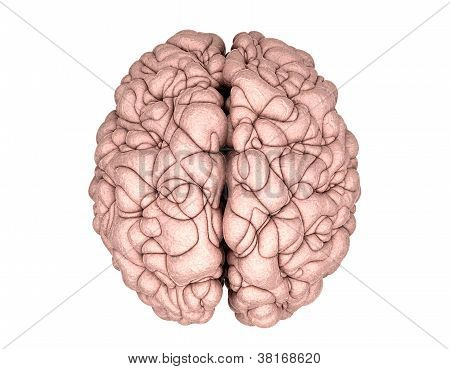 Brain Top View