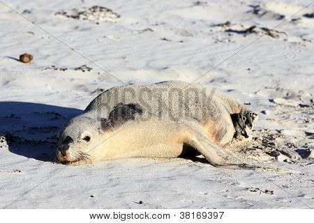 Australian Sea Lion, Seal Bay Conservation Park, Kangaroo Island, South Australia