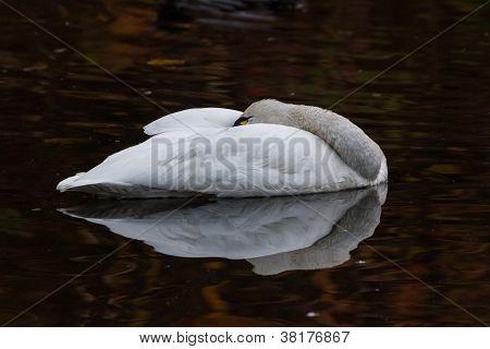Cisne-pequeno