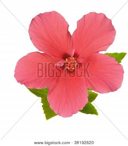Flower of Red Hibiscus With Pink Petals On Pestle, Stamens And Leaves, Isolated On White