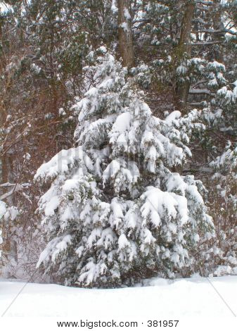 Eastern Red Cedar In Snow