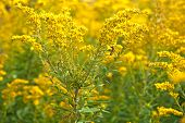 stock photo of goldenrod  - A bumblebee on a goldenrod plant in an autumn field - JPG