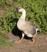 Shadowy Goose poster