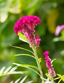 image of cockscomb  - Closeup of a cockscomb flower  - JPG