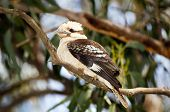 picture of blue winged kookaburra  - Kookaburra native Australian bird in the wild close up - JPG