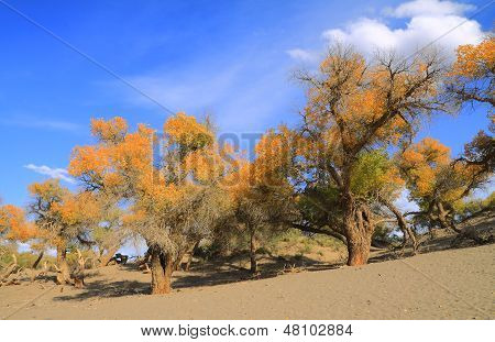 Golden Yellow Poplar Trees
