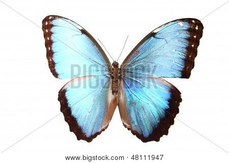 Morphidae: blue And Brown Butterfly