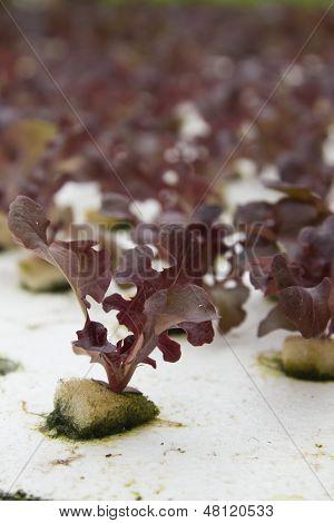 Hydroponic Vegetable Farm