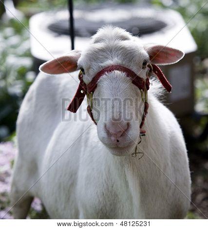 Sweet white sheep