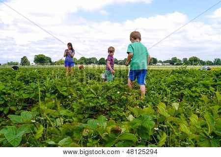 Family Picking Strawberries At A Farm During Summer