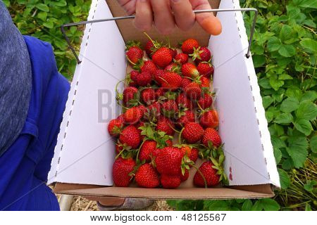 Close Up Of Young Womans Hands Picking Strawberries At A Farm During Summer