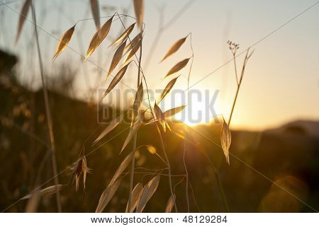 Oat In Sunset