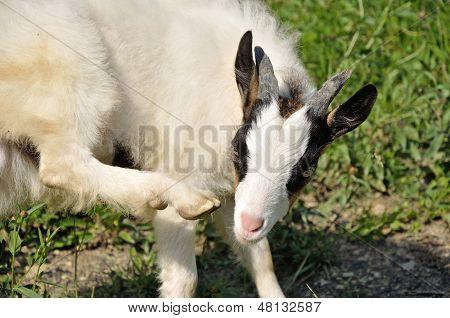 Goatling jeuk