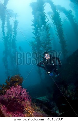 Scuba Diver In The Kelp In Cataina