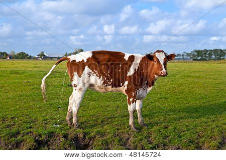 Pissing Cow On Pasture