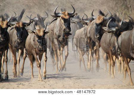 Migración de ñus azul - polvo y cuernos de África