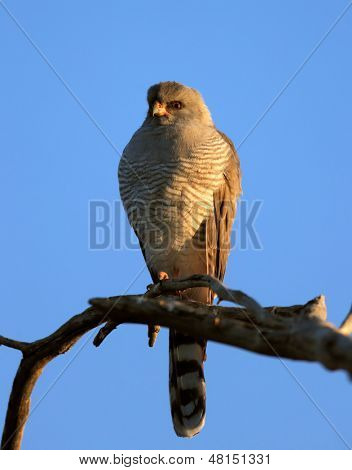 Gabar Goshawk perched on branch - Melierax gabar - Kalahari Desert - South Africa