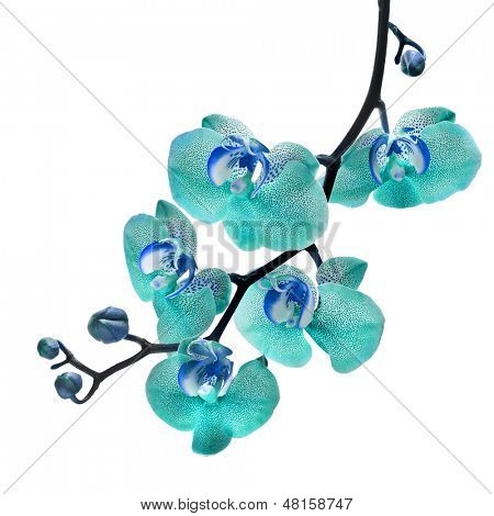 Beautiful flower Orchid, blue phalaenopsis close up isolated on white background