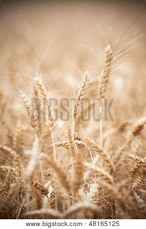 Close-up of ripe wheat grain crop ears harvesting machine combine working at wheat or rye grain crop field
