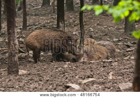 Wild Boar Family In Their Natural Environment