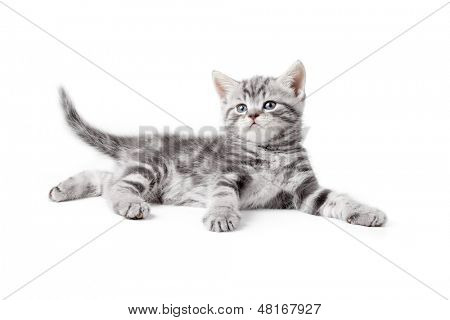 pretty gray british kitten lying isolated on white