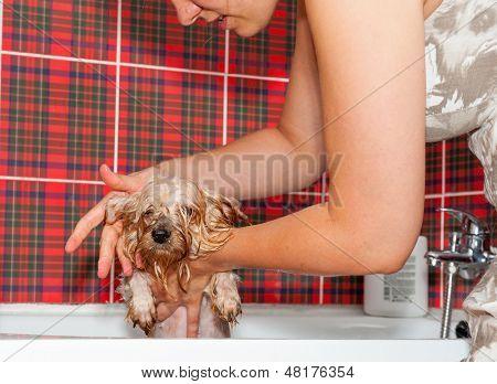 Female groomer wash Yorkshire Terrier