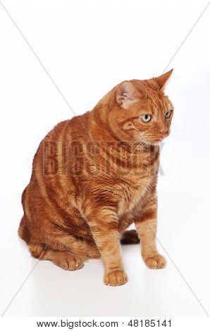 Fett Orange Tabby-Katze, seine Zunge heraus haften