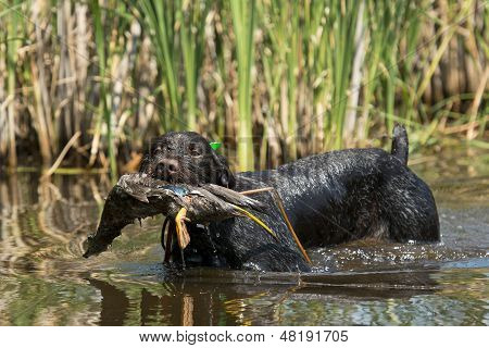 Hunting dog in the water