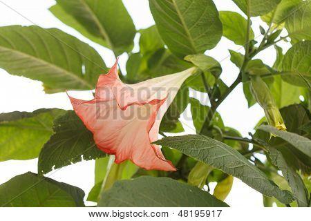 flor de Datura