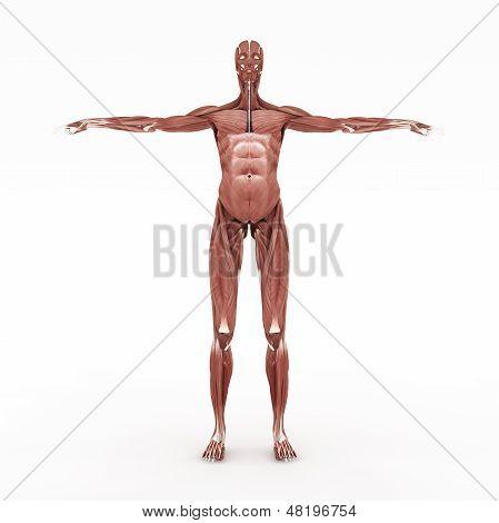 Female Muscular