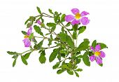 stock photo of hermaphrodite  - Paper thin pink flowers of the Rockrose or Cistus albidus - JPG