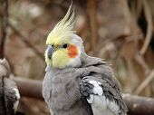 stock photo of cockatiel  - this is a closeup of a cockatiel - JPG