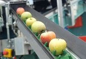 picture of orchard  - Fresh and wet apples on a conveyor belt - JPG