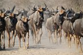 stock photo of wildebeest  - A Herd of Blue Wildebeest on the trot - JPG